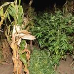 Polodetailný pohľad na zasadené zelené rastliny medzi kukuricu