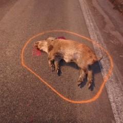Divá zver spôsobila vážnu dopravnú nehodu