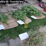 Akcia Cannabis, úrodu mu pozbierali policajti